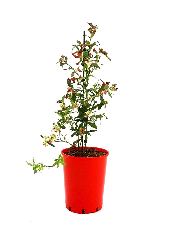 ROSSO AMERICANO secretgiardino.com Frutti di bosco pianta profumata PIANTA MIRTILLO-VACCINIUM MACROCARPON CRANBERRY*pianta vera* /Ø 17 cm h 75 cm
