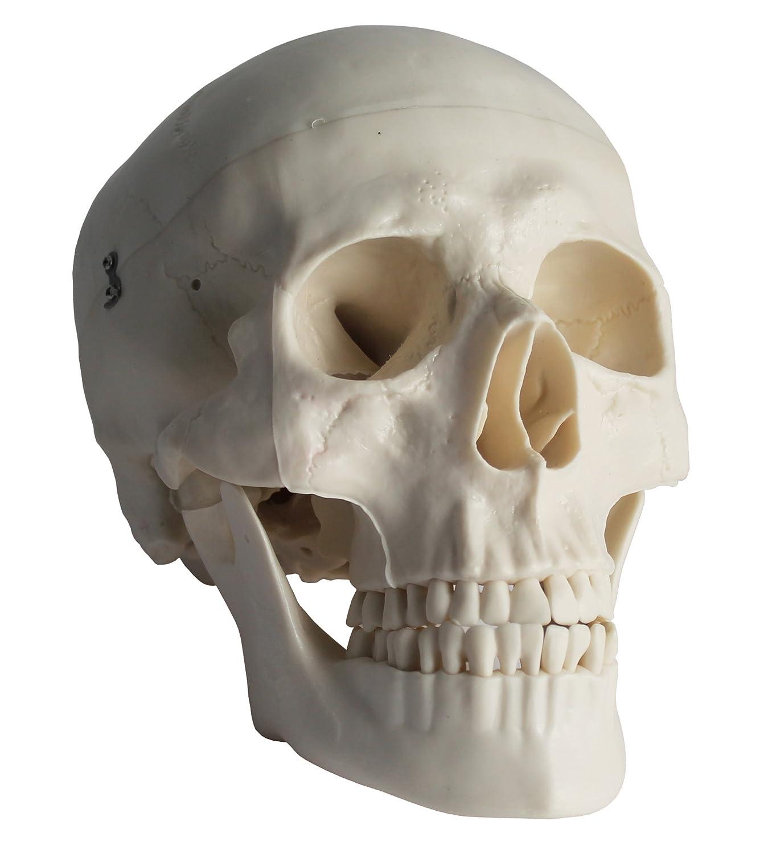Physique Anatomical Lifesize Human Skull Model: Amazon.co.uk: Office ...