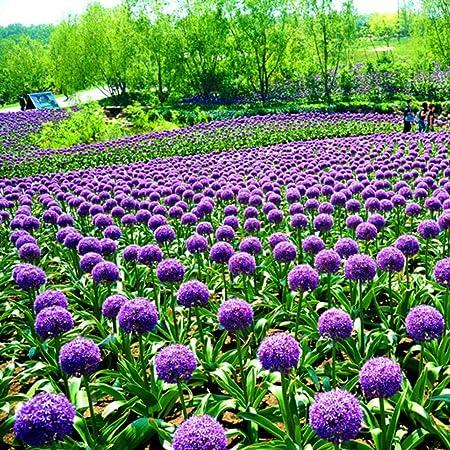 50PCS Purple Allium Giganteum Flower Seeds Decor Plant Bonsai House Garden Color