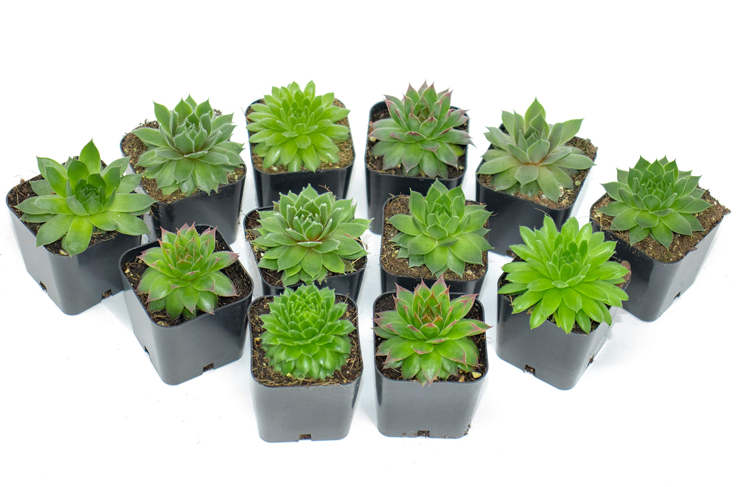 Succulent Plants | 20 Sempervivum Succulents | Rooted in Planter Pots with Soil | Real Live Indoor Plants | Gifts or Room Decor by Plants for Pets by Plants for Pets (Image #7)