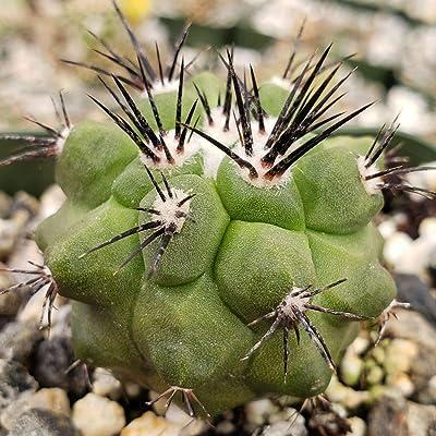 Copiapoa marginata Cactus Cacti Succulent Real Live Plant : Garden & Outdoor