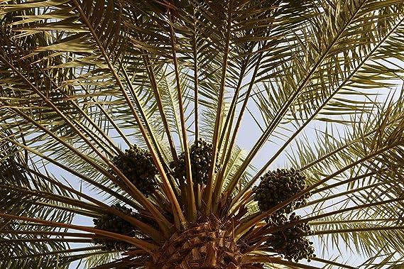 800 g Dátiles Safawi Palmyra Delights 100% natural ...