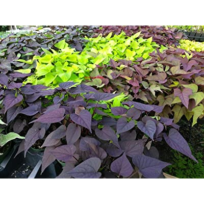 Ipomoea - Sweet Potato Vine - Random Mix Colors - 6 Live Starter Plants - Plugs : Garden & Outdoor