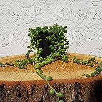 Erbse am Band - Senecio rowleyanus im 8,5cm Topf