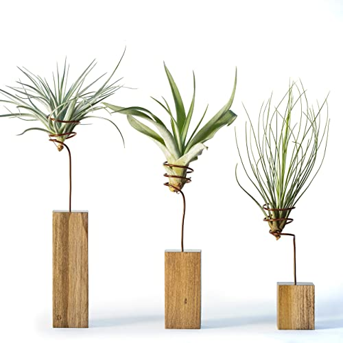 Amazon Com Set Of 3 Walnut Air Plant Wire Holders Indoor Shelf Display Decorative House Plants Unique Desk Gifts Gifts For Him Modern Living Room Decor Unique Plant Gift Gifts For Her Mothers