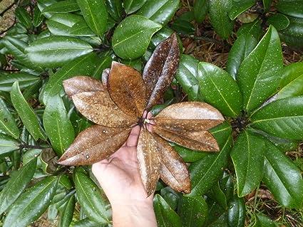 Amazon Com Gal Bag 1 Organic Magnolia Leaf Litter Terrarium Dart