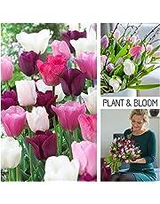 Plant & Bloom - Bulbi da fiore olandesi - Bulbi di tulipano - Piantagione autunnale, facile da coltivare, Fioritura primaverile - Collezione di tulipani da giardino