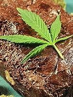 Man Claims Edible Marijuana Made Him Kill His Wife