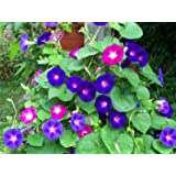 Seedscare Morning Glory (Mixed Pack of 50 Seeds)