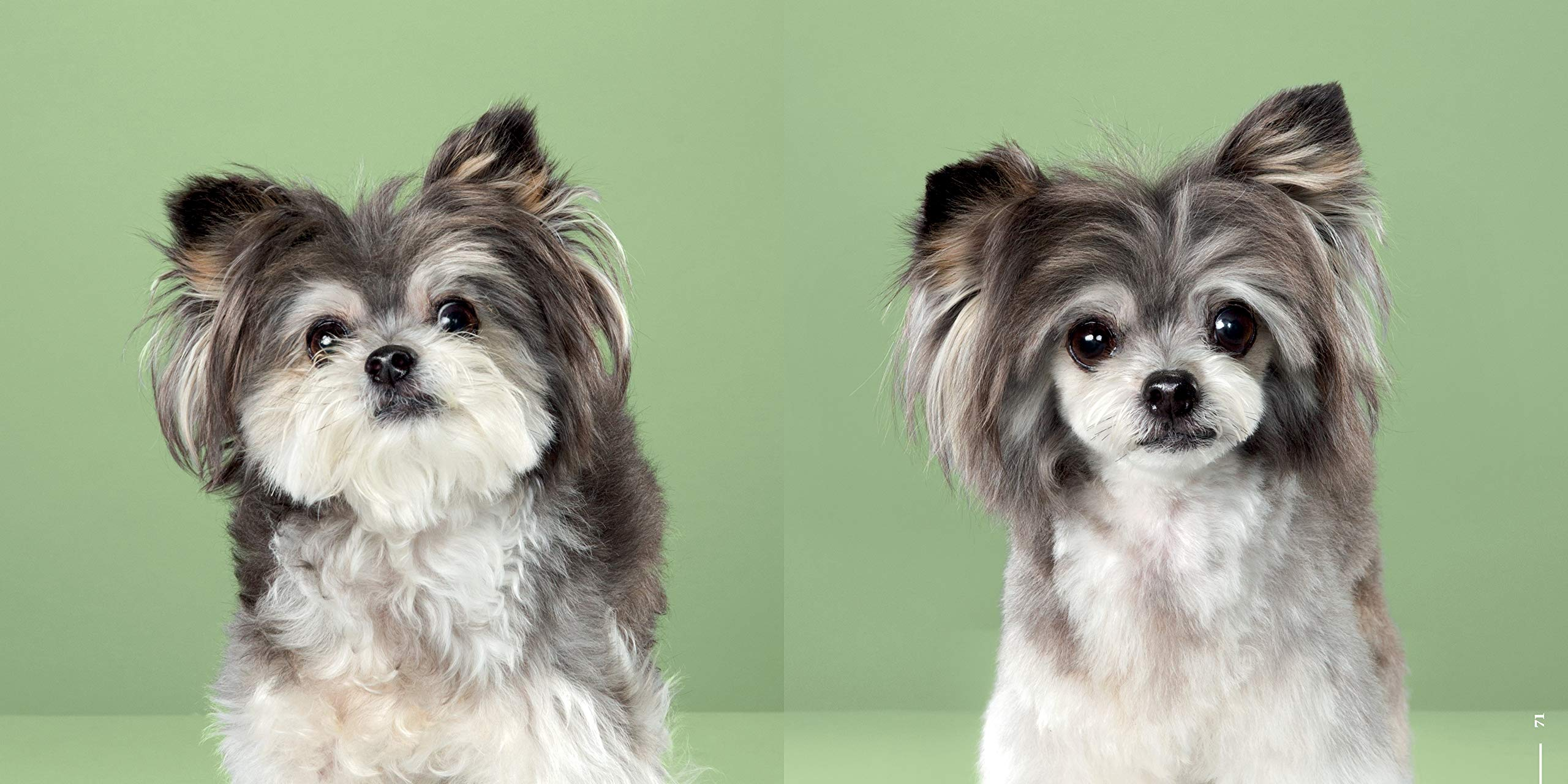 Amazon Com Puppy Styled Japanese Dog Grooming Before After 9781682681763 Chon Grace Books