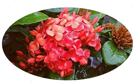 Amazon maui red ixora tropical live plant orange red flower maui red ixora tropical live plant orange red flower starter size 4 inch pot emerald goddess mightylinksfo