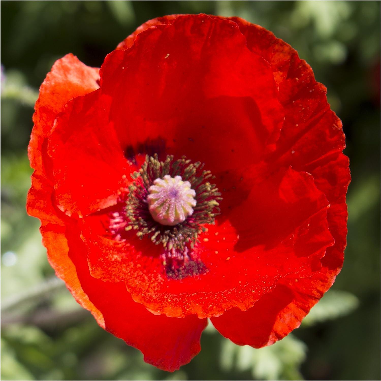 Seed Needs, Red Poppy Corn Poppy (Papaver rhoeas) Bulk 100,000 Seeds