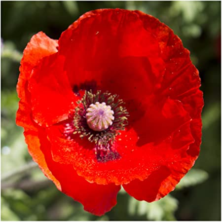 Amazon package of 10 000 seeds red poppy corn poppy papaver amazon package of 10 000 seeds red poppy corn poppy papaver rhoeas non gmo seeds by seed needs poppy plants garden outdoor mightylinksfo