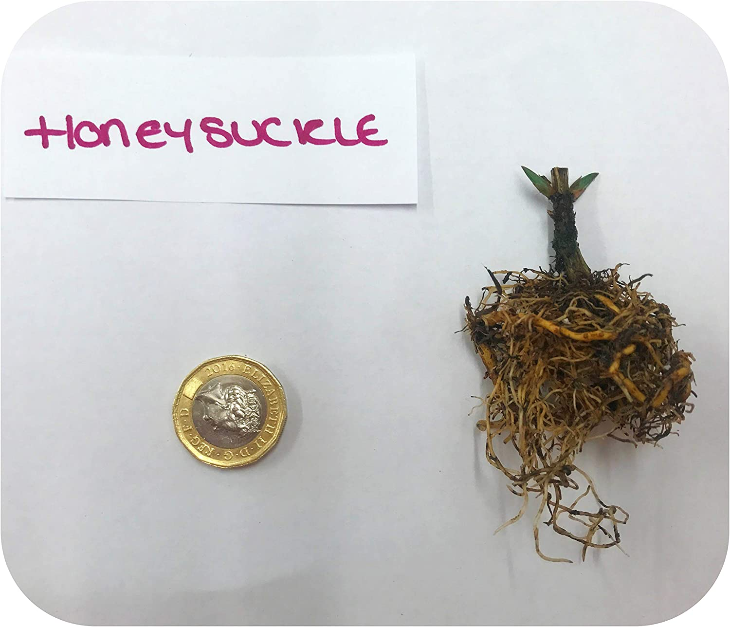 Lonicera Honeysuckle REPENS X 3 Bare Root Plants by Plug Plants Express Limited