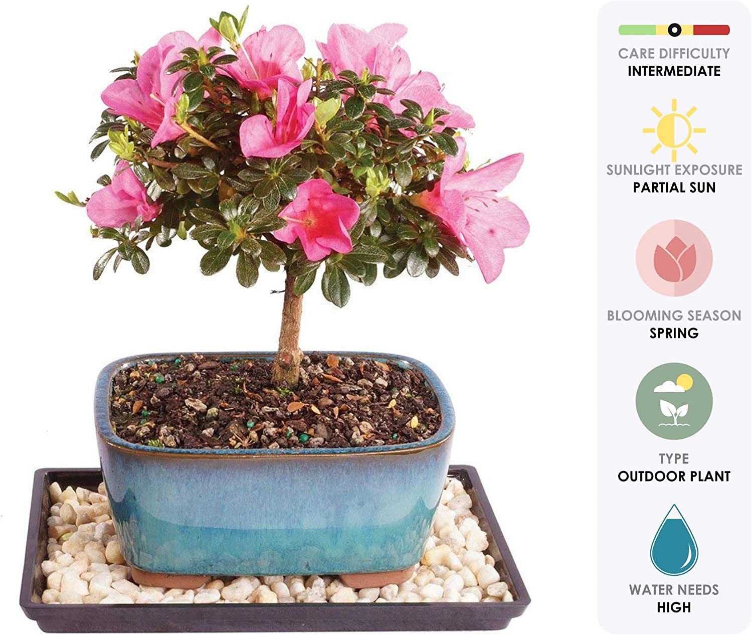 Amazon Com Brussel S Live Satsuki Azalea Outdoor Bonsai Tree 4 Years Old 6 To 8 Tall With Decorative Container Humidity Tray Deco Rock Garden Outdoor