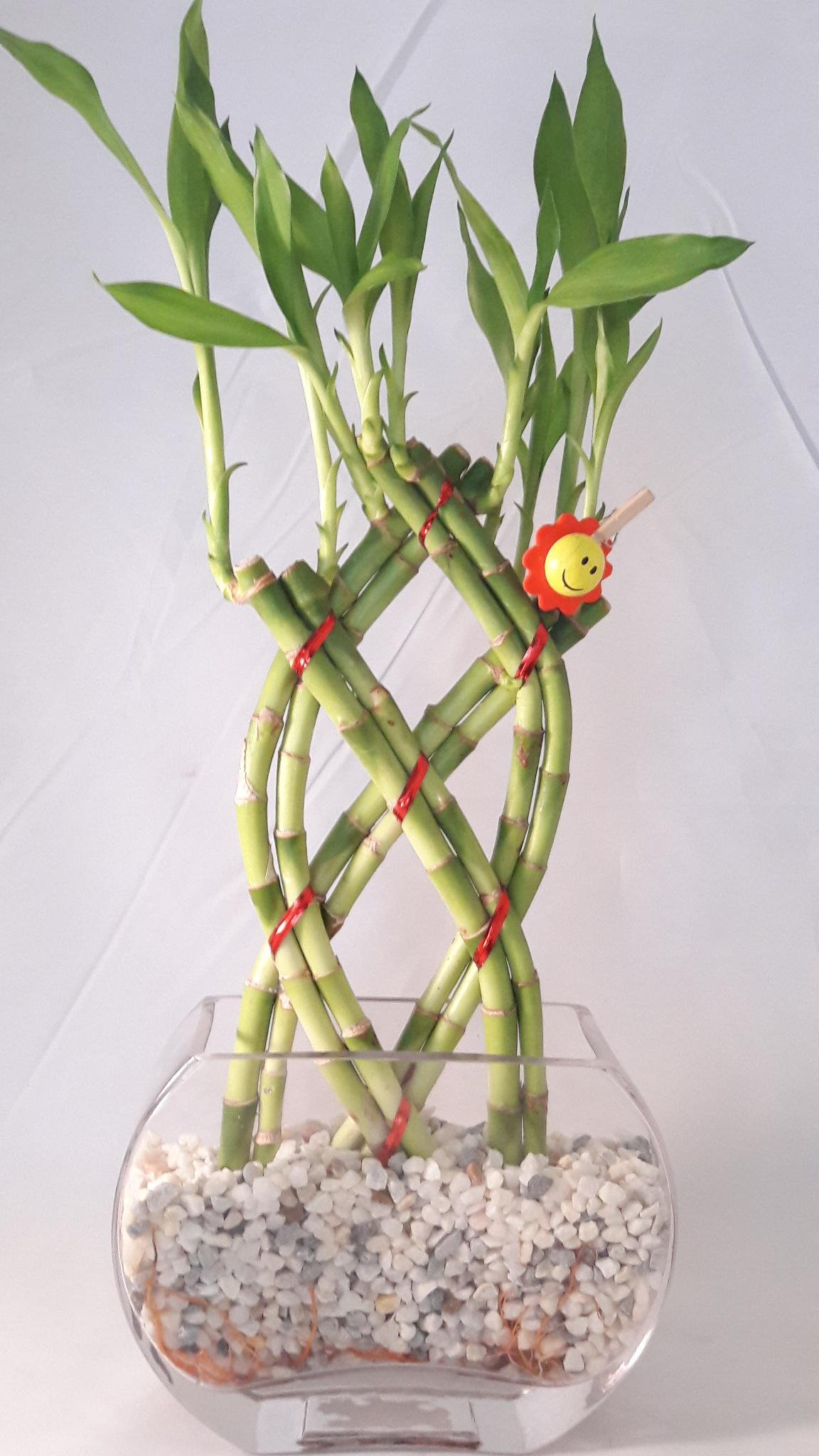 Live 8 Braided Style Lucky Bamboo Plant with glass Vase Arrangement