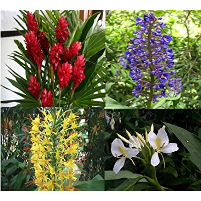 4 Hawaiian Ginger Plant Root Red Blue White Yellow D3 : Flowering Plants : Garden & Outdoor