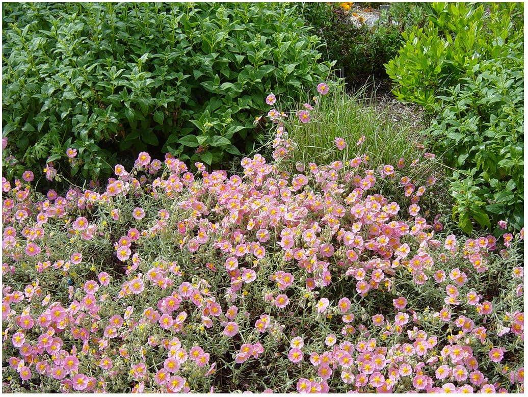 Rock Rose Plant in 9cm Pot Helianthemum Wisley Pink