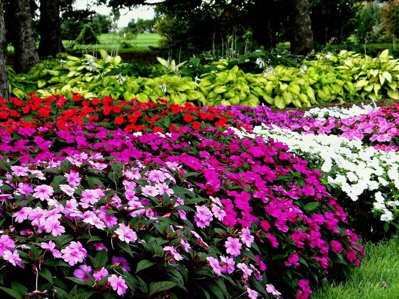 Amazon Com Impatiens New Guinea Florific Mix 100 Seeds Garden