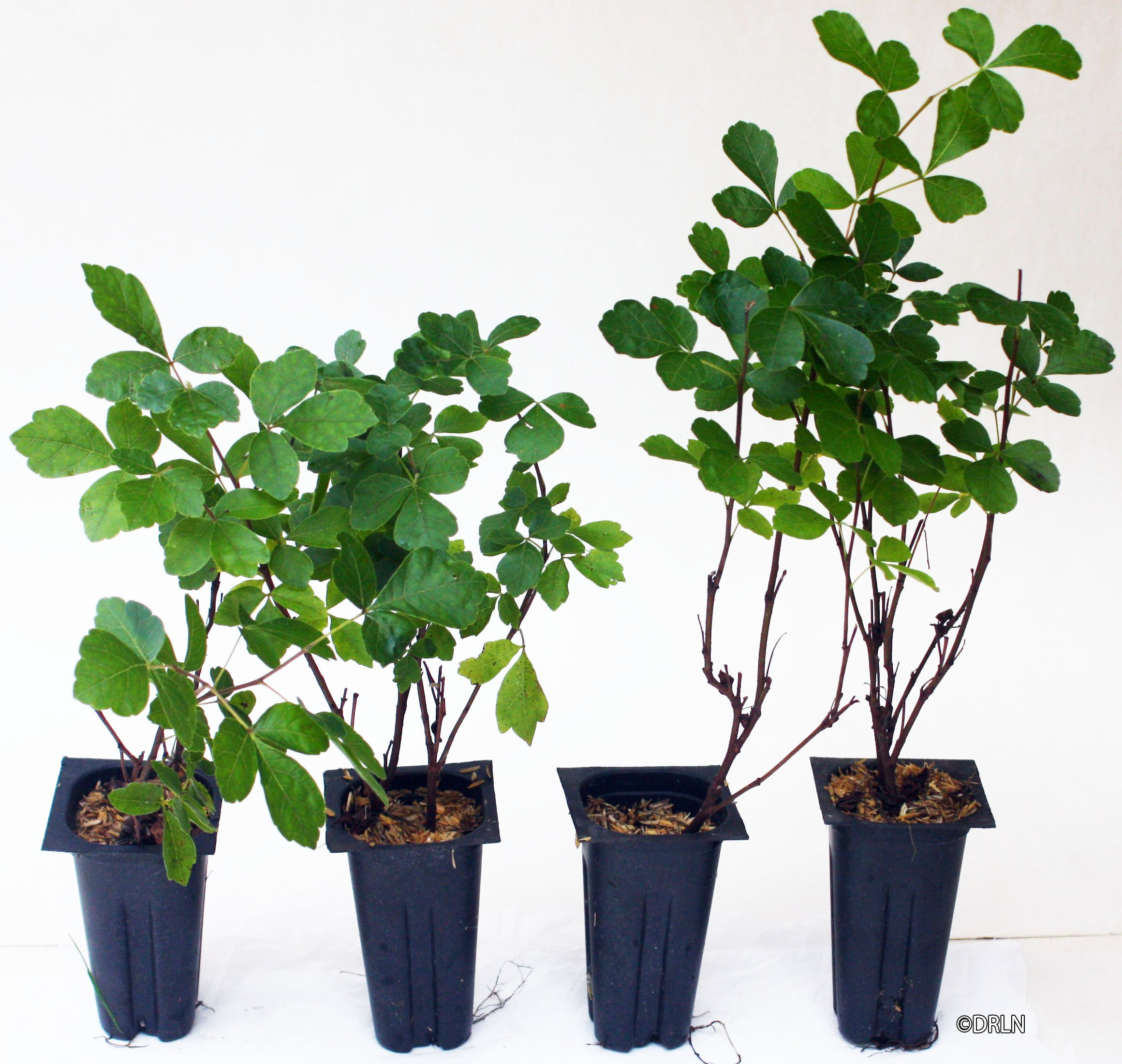 Rhus aromatica Gro-Low Package of 12 plants in 2.5'' pots