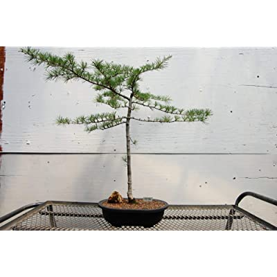 27 Year Old Himalayan Cedar Specimen Bonsai Tree: Garden & Outdoor