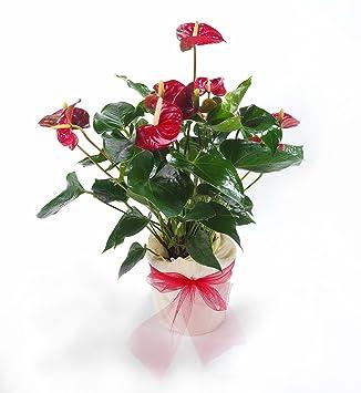 Gemeinsame Dominik Blumen und Pflanzen, 890188 Flamingo-Blume, Anthurie im #MX_94