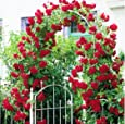 Variety House Red Climbing Rose Tree-Plant Seeds (10+ Seeds)