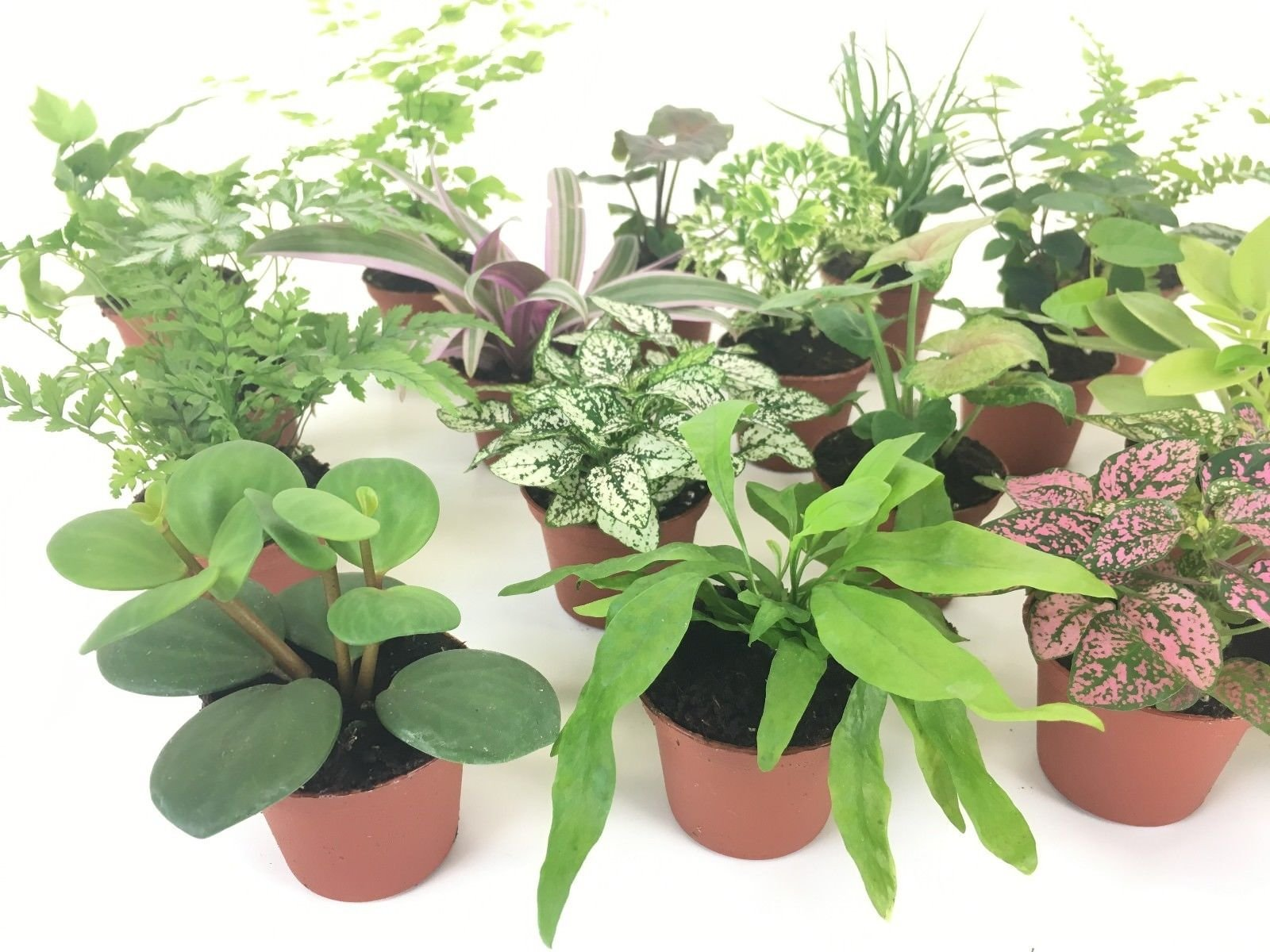 2'' Mini Fairy Garden & Terrarium Plants Assorted Varieties (Pack of 2 Plants) by Ma_Plant (Image #3)