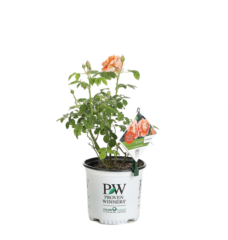 Amazon.com : At Last Rose (Rosa) Live Shrub, Orange Flowers, 1 ...