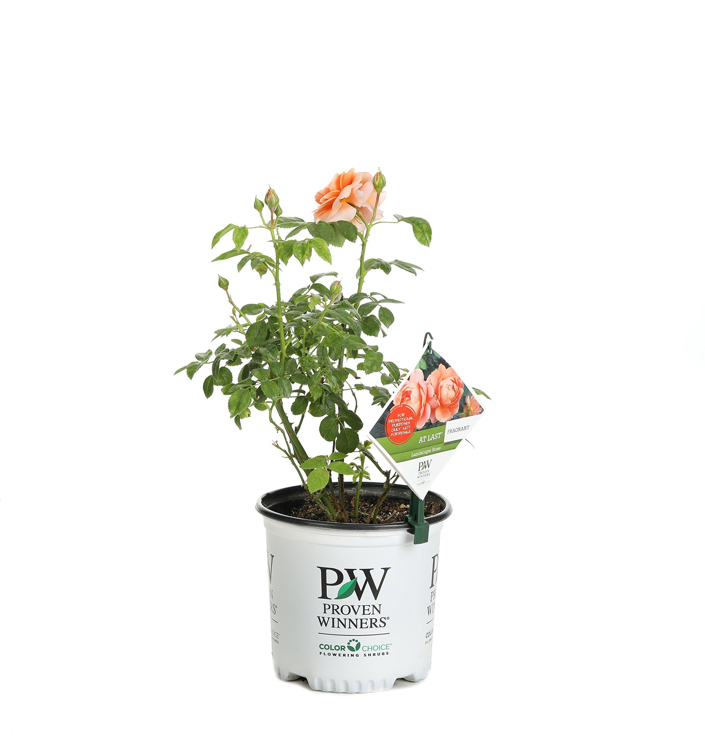 At Last Rose (Rosa) Live Shrub, Orange Flowers, 1 Gallon