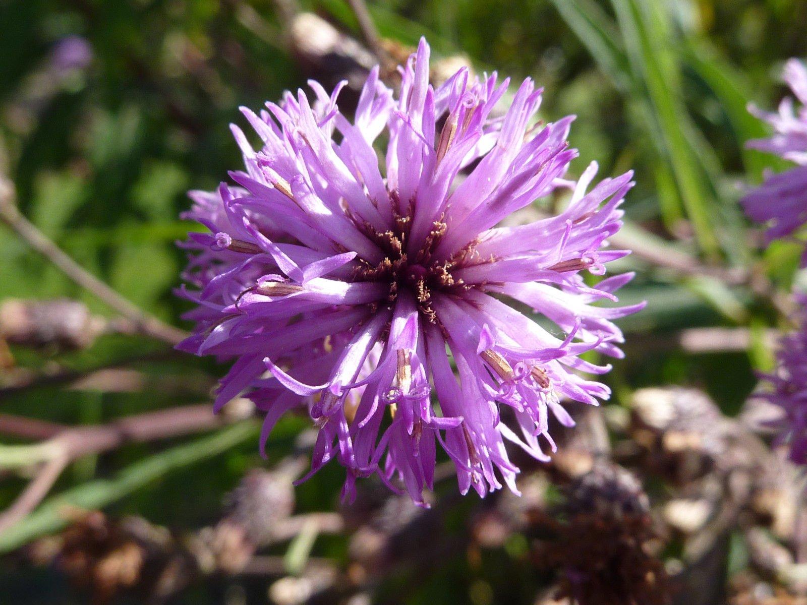 100 Missouri Ironweed Monarch Flower Native Purple Vernonia Missurica Seeds