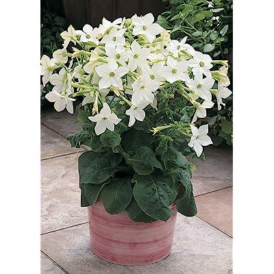 Nicotiana Alata - Pure White (200 Seeds) Flowering Tobacco - Ornamental : Garden & Outdoor