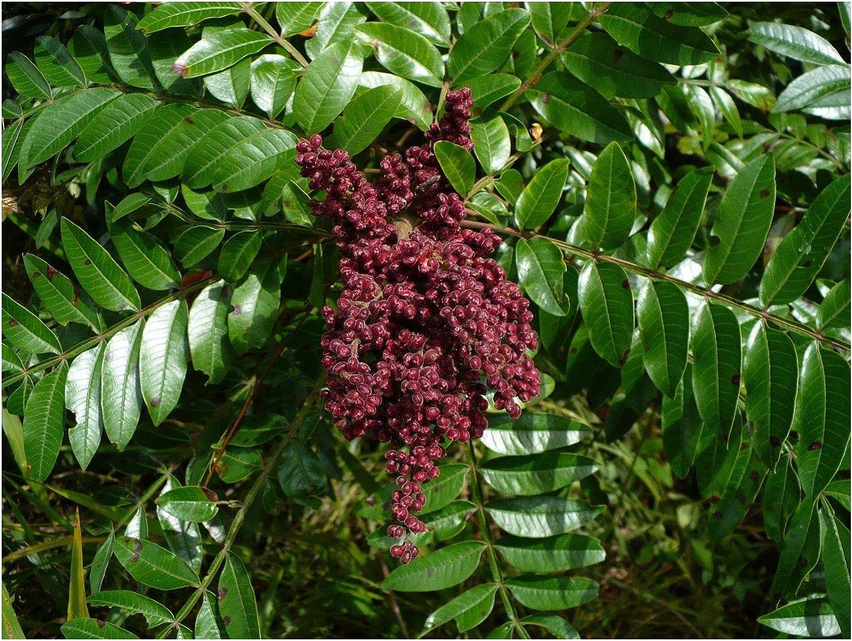 100 or 1000 fresh seeds Rhus Glabra Smooth Sumac