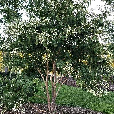 """AchmadAnam - 4"""" Pot - Temple of Bloom Seven-Son Flower - Heptacodium - Proven Winners : Garden & Outdoor"""