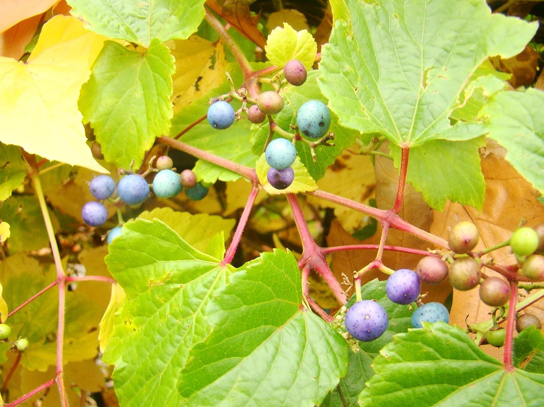 CLIMBER SHRUB Ampelopsis brevipedunculata PORCELAIN VINE metallic blue fruits