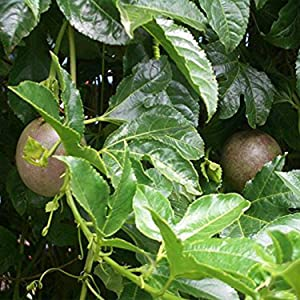 Frederick Passion Fruit Seeds (Passiflora edulis) 5+ Rare Tropical Fruit Seeds