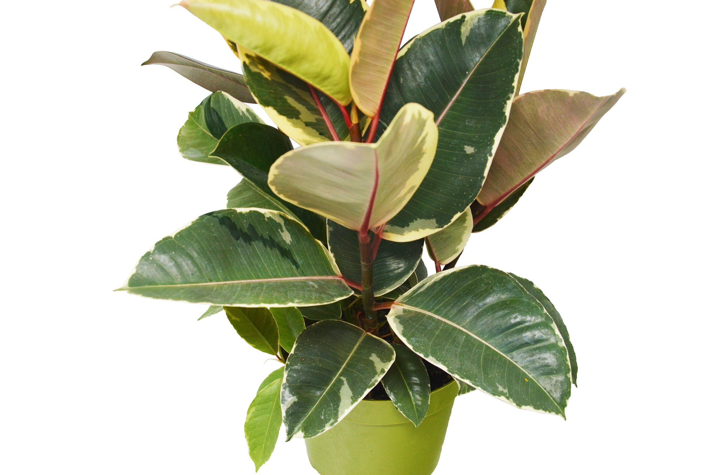 Ficus 'Tineke' Rubber Plant - In 6'' Pot/12 - 18'' Tall/Live Plant/FREE Care Guide/House Plant/EASY CARE by House Plant Shop