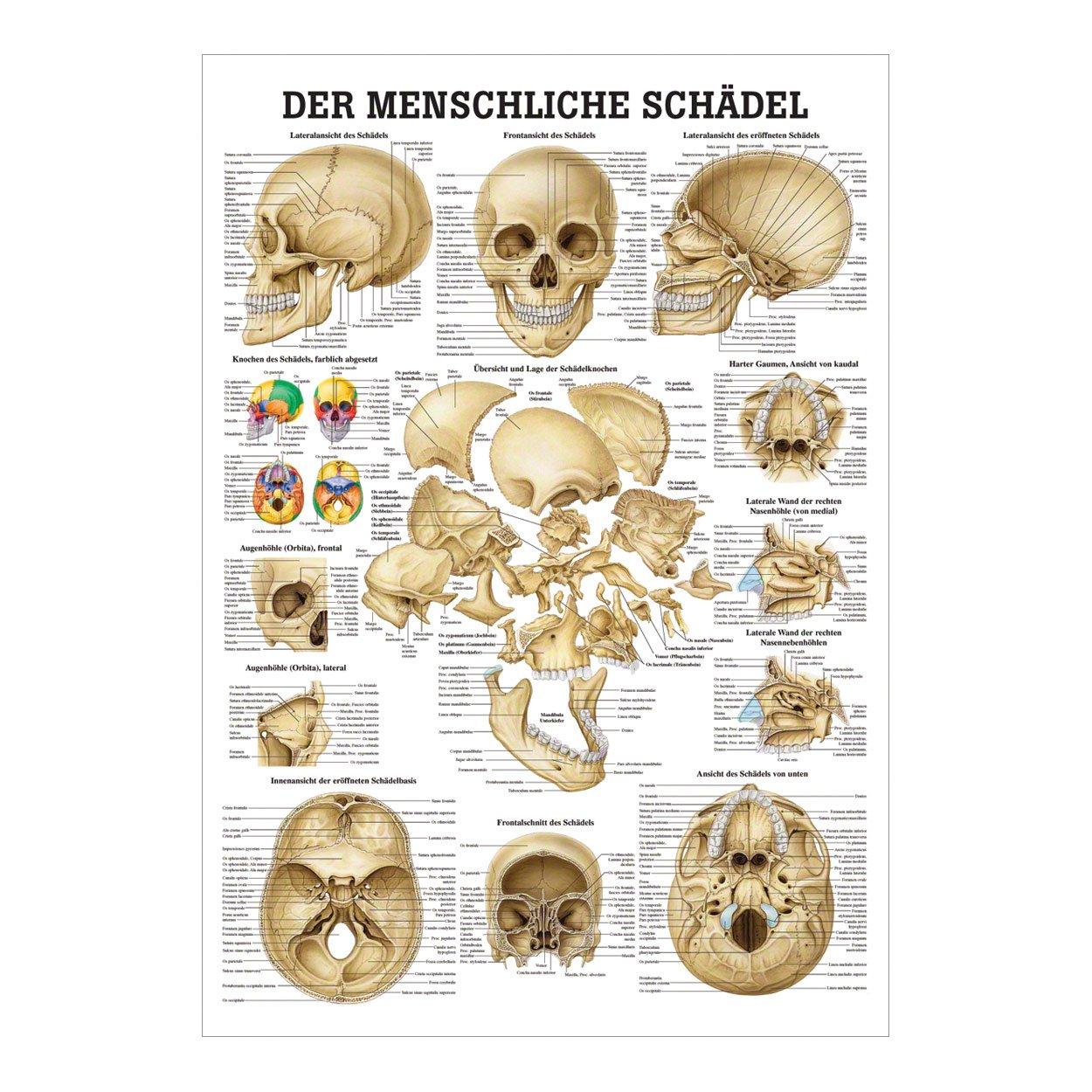 Schön Gesichtsknochen Anatomie Galerie - Anatomie Von Menschlichen ...