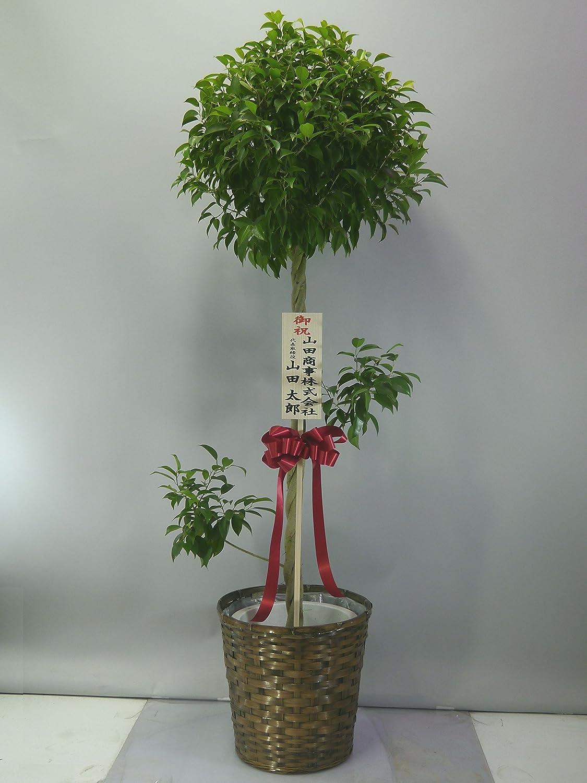 [ベイサイドフラワー] 観葉植物ベンジャミン 10号(バスケット付) (160~180cm程度) 【送料込み】 FOP-LBEN10B B0181ZYX26