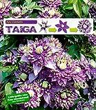 """BALDUR-Garten Gefüllte Clematis""""Taiga"""" 1 Pflanze Waldrebe winterhart Klematis mehrjährige blühende Kletterpflanzen"""
