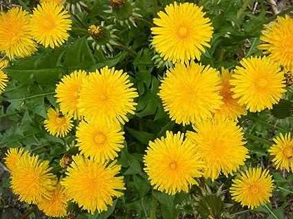 Amazon.com: 500 semillas Aphaca Taraxacum Vulgare diente de ...