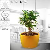 HappyGrün: All Inclusive Hydroponic Plant System - Carefree, Innovative, Stylish, Soil Free | Bonsai Tree - Ficus Benjamina | L - Venus 20/14 | Yellow - High Gloss