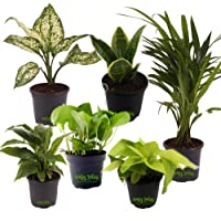Leafy Tales Air Purifying Combo Set of 6 Plants - Sansevieria Snake Plant, Golden Pothos Green Money Plant, Golden Money Plant (Plant Neon Leave), Boston Fern, Snow white Aglaonema, Peace Lily Spathiphyllum in Black Plastic Pot | Anti Pollution, Low Maintenance