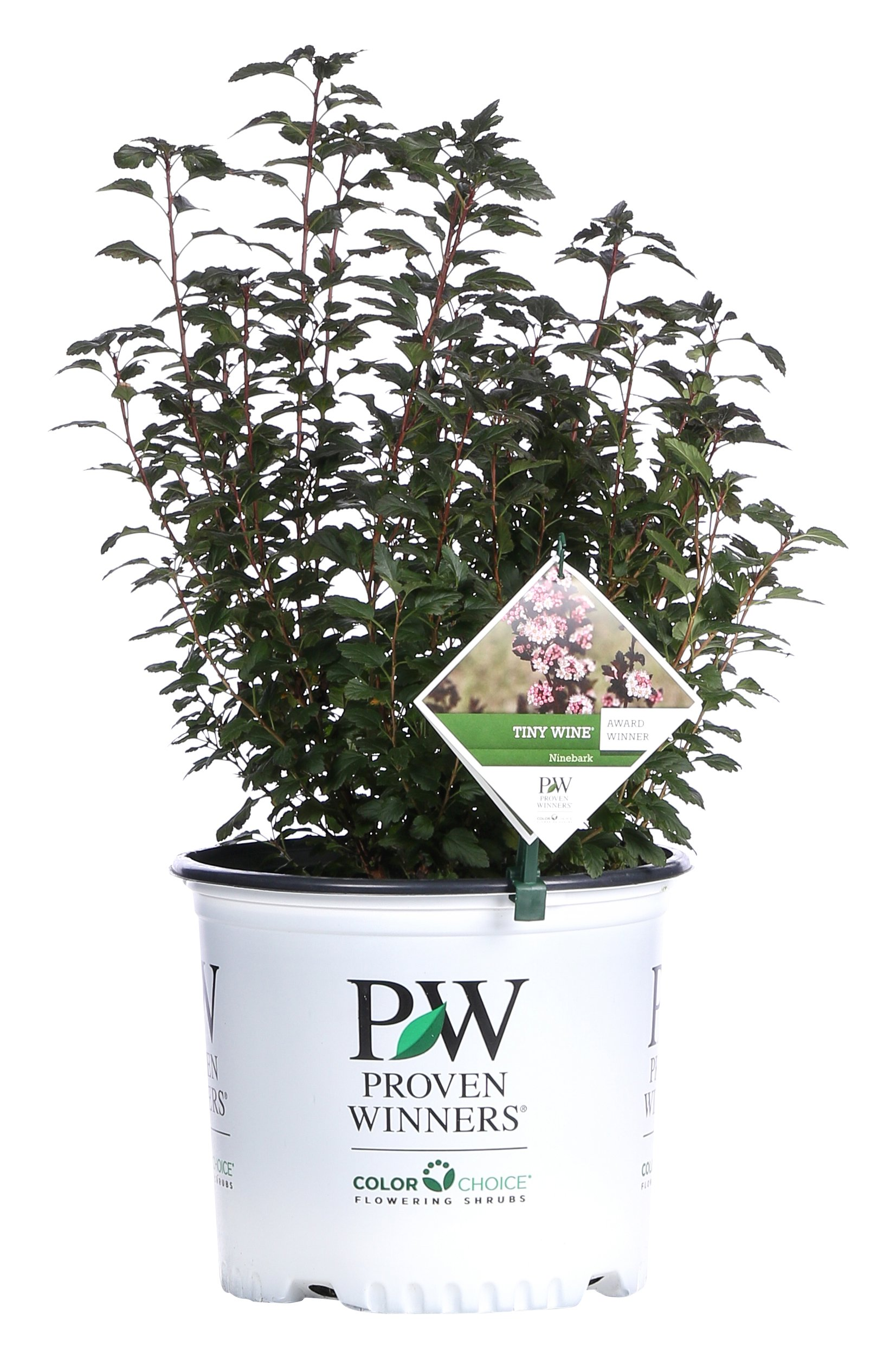 Tiny Wine Ninebark (Physocarpus) Live Shrub, White Flowers and Purple Foliage, 3 Gallon by Proven Winners