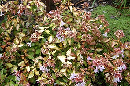 Amazoncom Abelia Edward Goucher Qty 30 Live Plants Flowering
