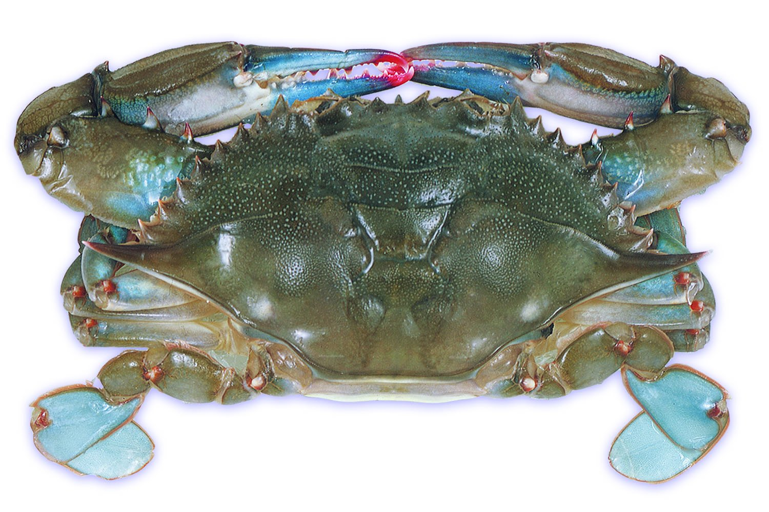 Raw Domestic Soft Shell Crab (12 Ct. Whales) - Frozen
