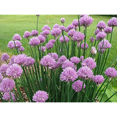AchmadAnam - Seeds - Onion Chives HERB Seeds - Garden Seeds - Bulk : Garden & Outdoor