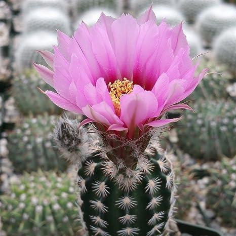 Amazon.com : Echinocereus Albertii Cactus Cacti Succulent Real
