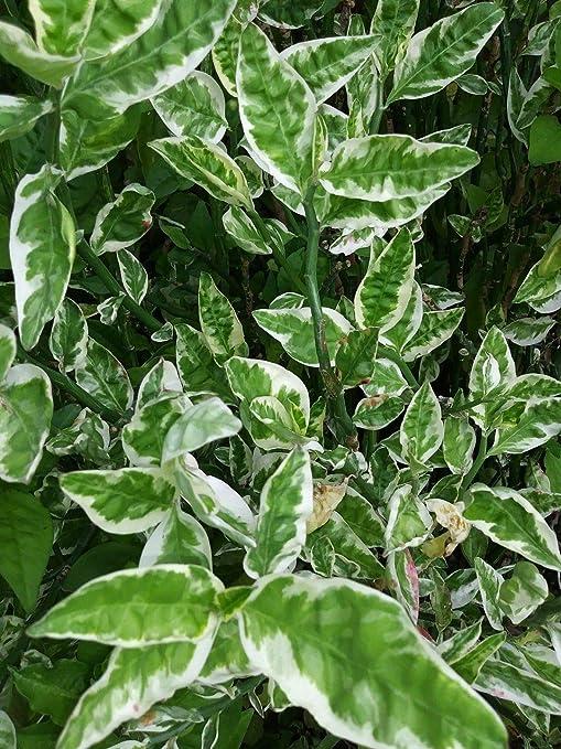 ASTONISH: Cortes de espinazo de Demonios varigados - Tres esquejes Frescos: Amazon.es: Jardín