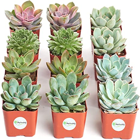 Amazon Com Shop Succulents Radiant Rosette Collection Of Live